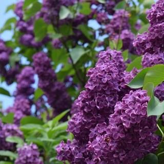 remedii-cu-flori-de-liliac