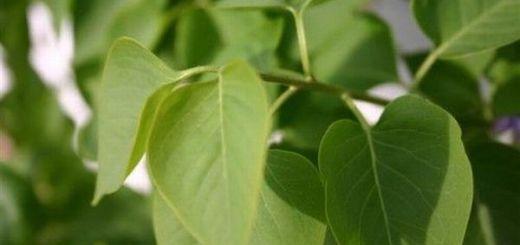 remedii-naturiste-cu-frunze-de-liliac