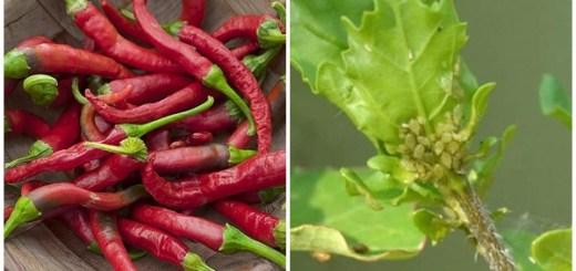 Ardeiul-iute-un-insecticid-natural-impotriva-afidelor-paduchii-plantelor