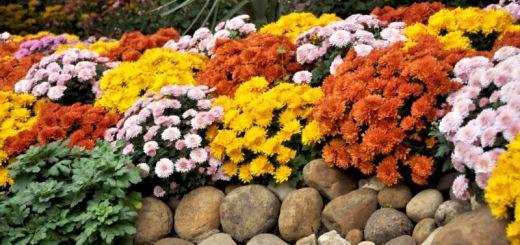 tufanelele-florile-toamnei-sfaturi-pentru-plantare-si-ingrijire