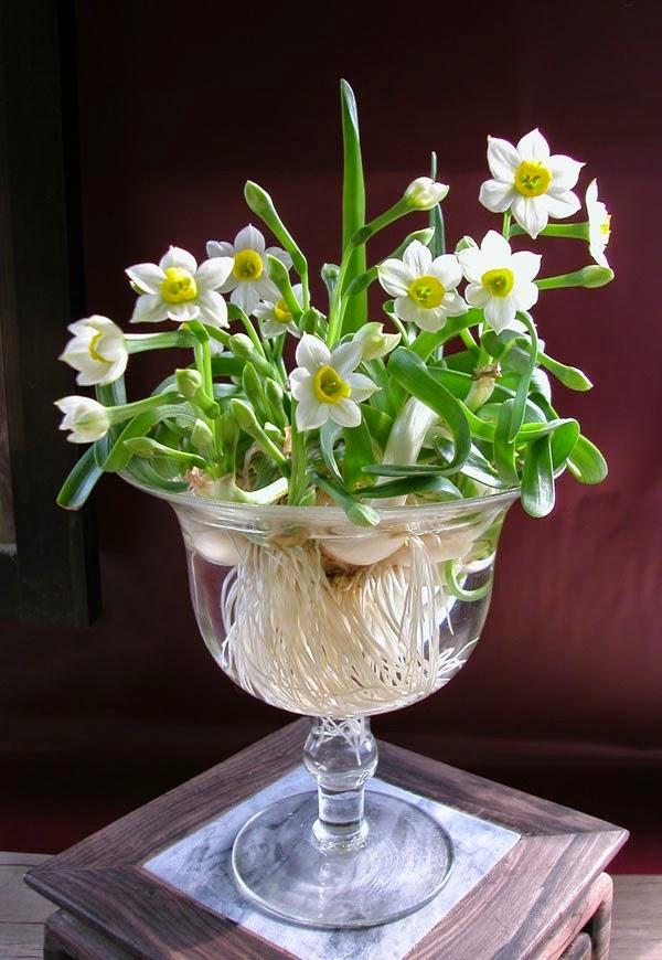 narcise cu bulbi in vaza