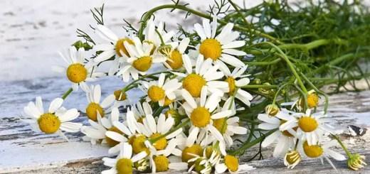 Musetelul. Planta care intareste sistemul de protectie al organismului