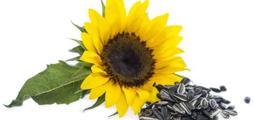 beneficii seminte de floarea soarelui