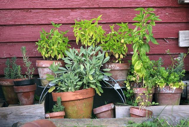 8 plante medicinale care pot fi cultivate in casa