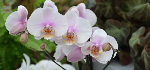 cat-de-des-se-uda-orhideea