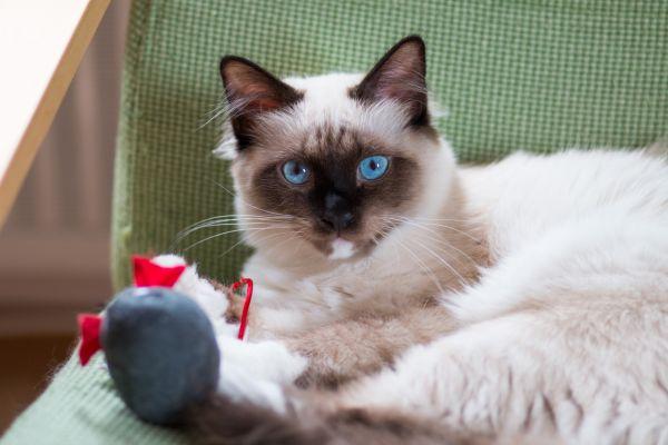 pisica-birmaneza