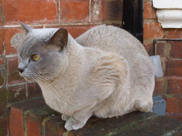 pisica-burmese