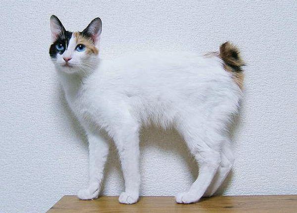 pisica-japoneza