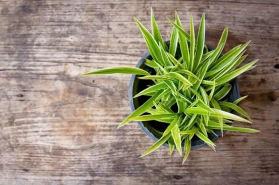 floare planta sarpelui