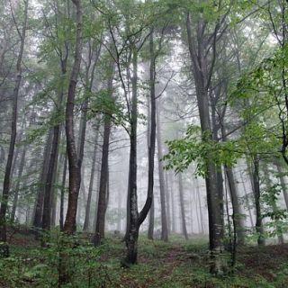 plante-care-cresc-in-padurile-de-munte