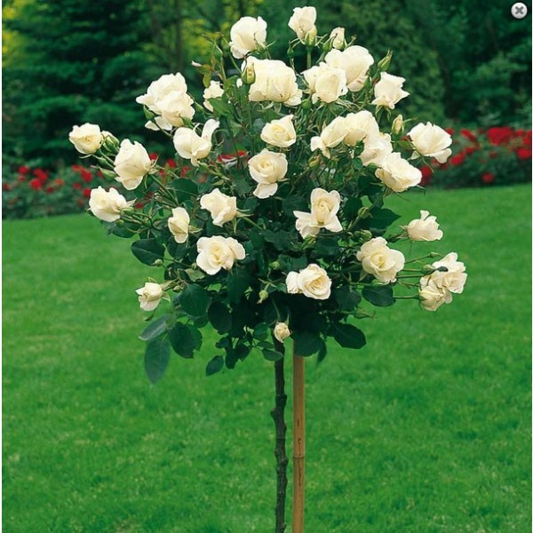 """Protejarea trandafirilor pomisori iarna. Cum tii la adapost """"copacelul"""" cu flori minunate"""