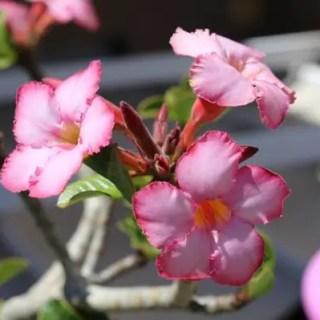plante-care-nu-trebuie-tinute-in-casa