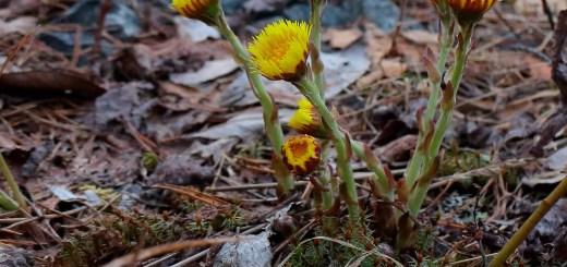 Podbalul, planta care iti trateaza afectiunile respiratorii de primavara
