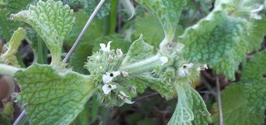 Ungurasul, planta medicinala cu minunate efecte terapeutice