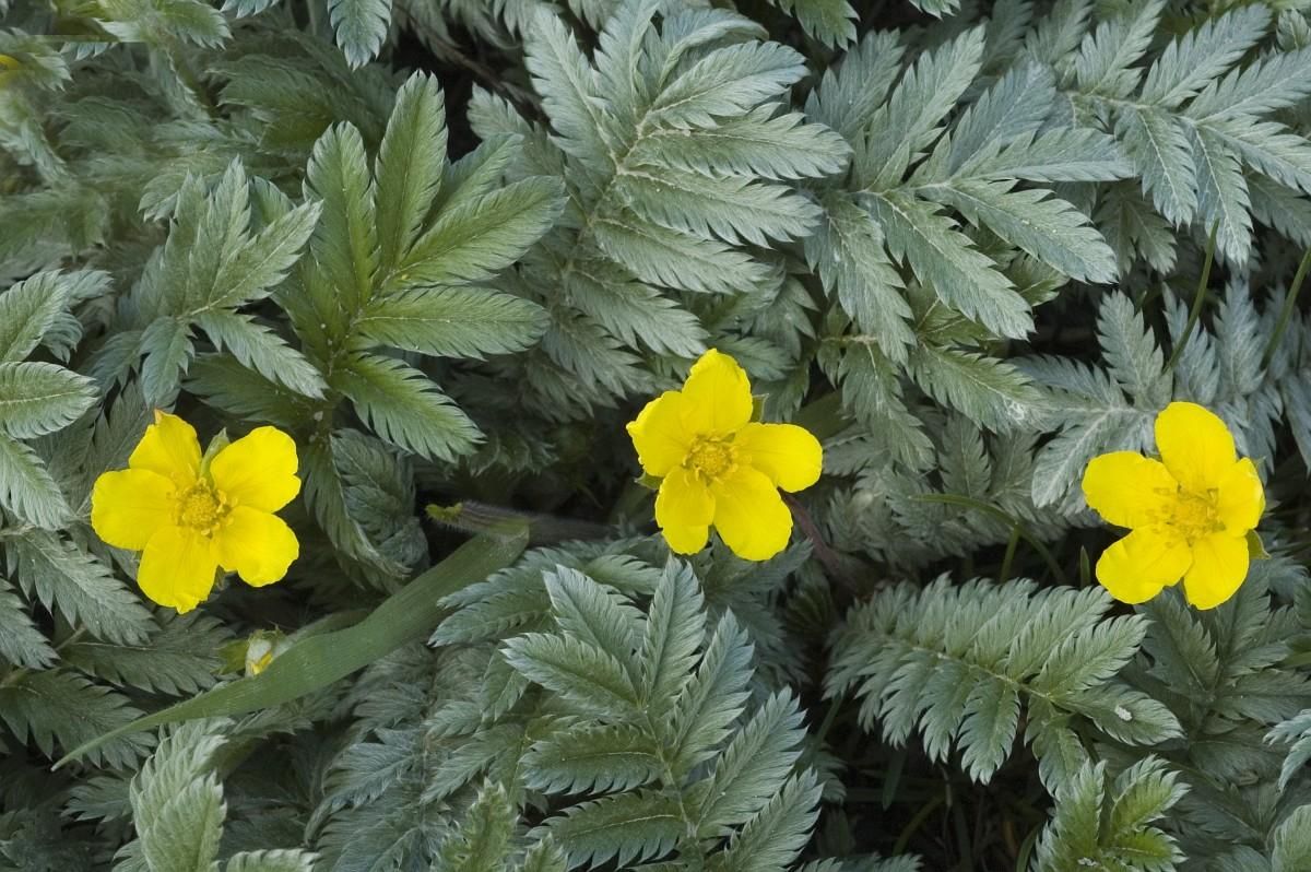 Coada racului, o planta medicinala cu beneficii nestiute