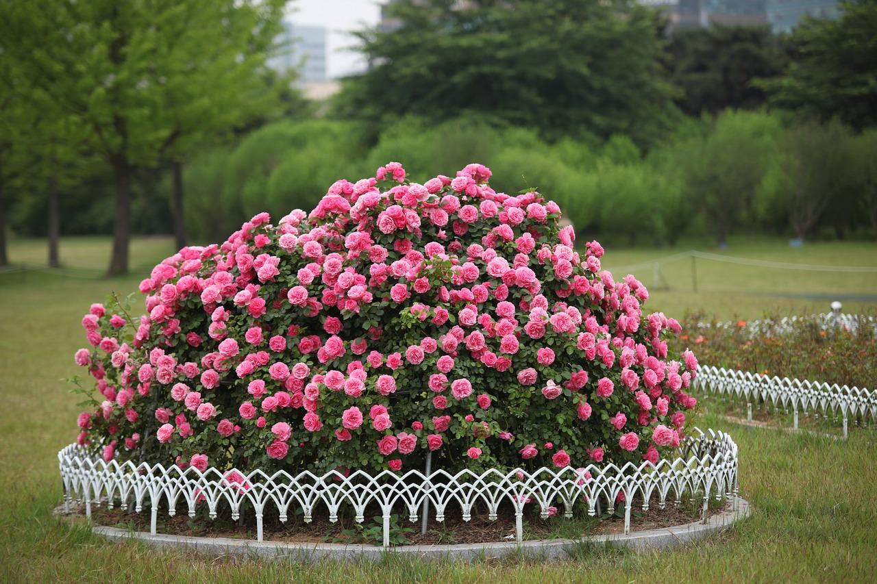 Trandafiri obtinuti prin altoire sau inmultiti prin butasi?