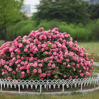 trandafiri-obtinuti-prin altoire-sau-inmultiti-prin-butasi