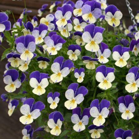 viola-hybrida
