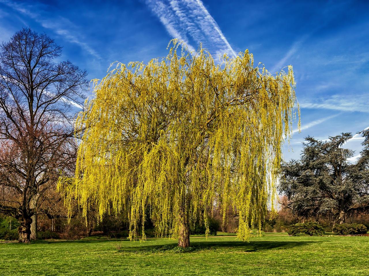 Salcia, arborele care alunga durerile