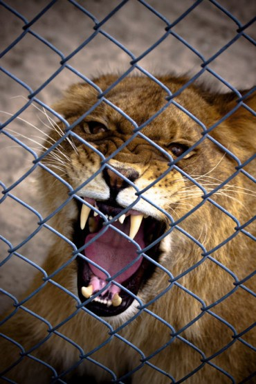 angry caged lion cub