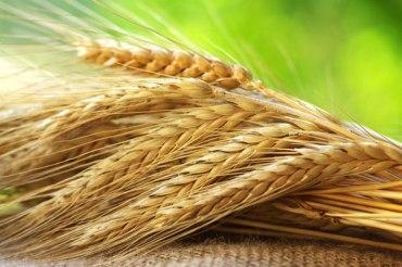 Урожай зерна в Казахстане в 2017 будет на треть ниже, чем в 2016