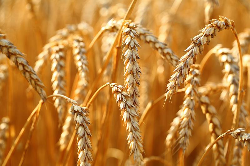 Власти ЗКО просят правительство пересмотреть механизм выделения зерна из стабфонда