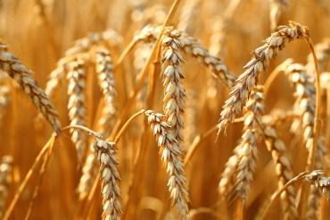 На 55% сократила экспорт зерна Костанайская область
