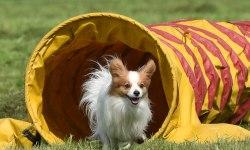 Собака породы папийон выбегает из туннеля, преодолевая трассу на соревнованиях по аджилити в Полюстровском парке