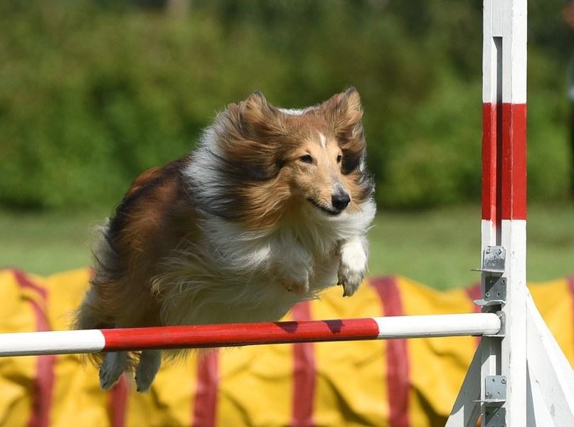 Шелти прыгает через барьер