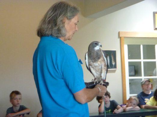Bred in captivity, a rare hybrid Gyrfalcon/Peregrine falcon.