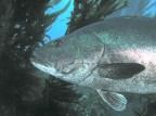 Giant_Black_Sea_Bass,_San_Clemente_Island,_Channel_Islands,_California