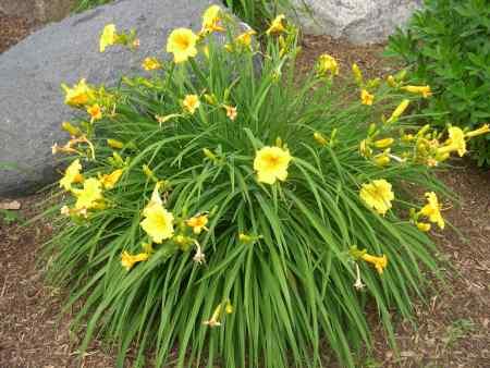 figure-93-3-day-lily-hemerocallis-species