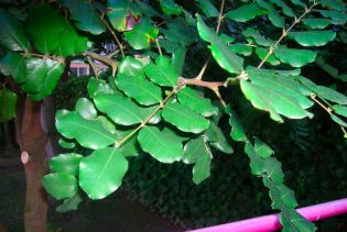 Foglie di Ceratonia siliqua (carrubo)