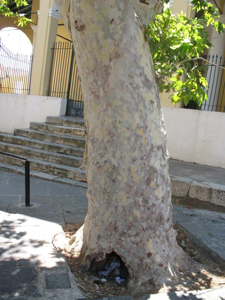 Corteccia di Platanus orientalis
