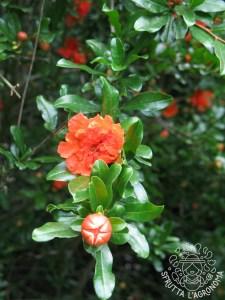 """Fiori e foglie di Punica granatum """"Flore pleno"""""""