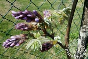 Wisteria brachybotrys in fioritura