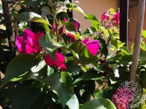 Le Bouganville sono piante sarmentose
