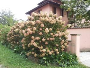 Fioritura di una Hydrangea paniculata a fine estate