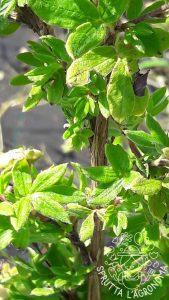Fusto e foglie di Potentilla fruticosa