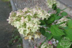 Fiore di Hydrangea paniculata