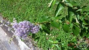 Ceanothus x delileanus fiorito