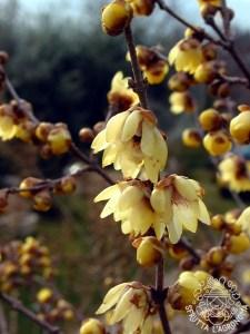Fioritura del Calicanto d'Inverno (Chimonanthus praecox)