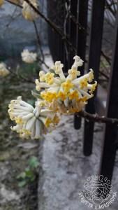 Fiori di Edgeworthia crysantha