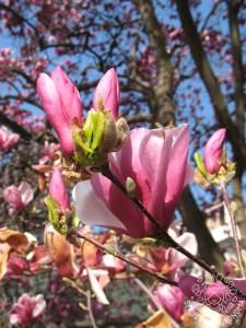 La Magnolia soulangeana fiorisce su rami di almeno due anni