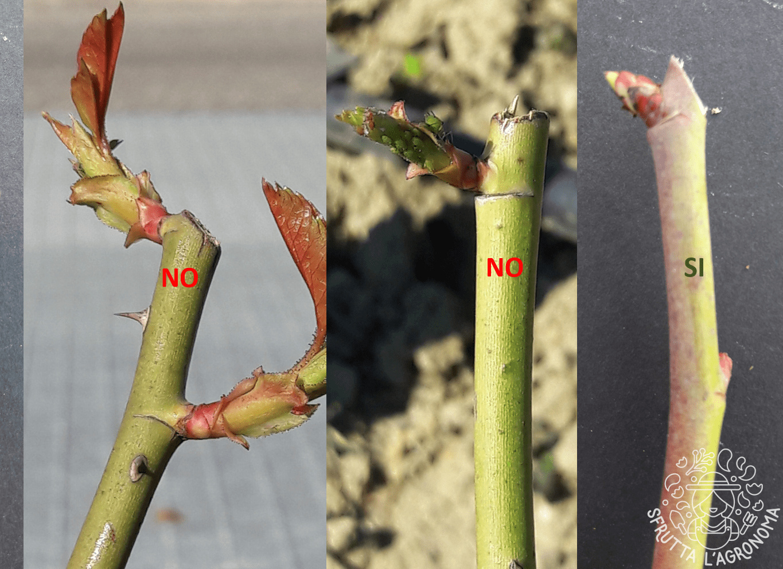 Quando Potare Il Glicine potature: dove e come tagliare   sfrutta l'agronoma.it