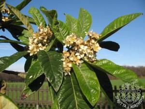 Fiori di Eriobotrya japonica