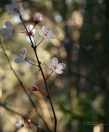 Presidio Cherry Blossoms