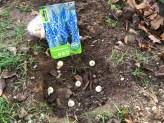 10.11.2020: Die Klasse 6b beim Tulpenpflanzen mit Biolehrerin Jessica Mendel