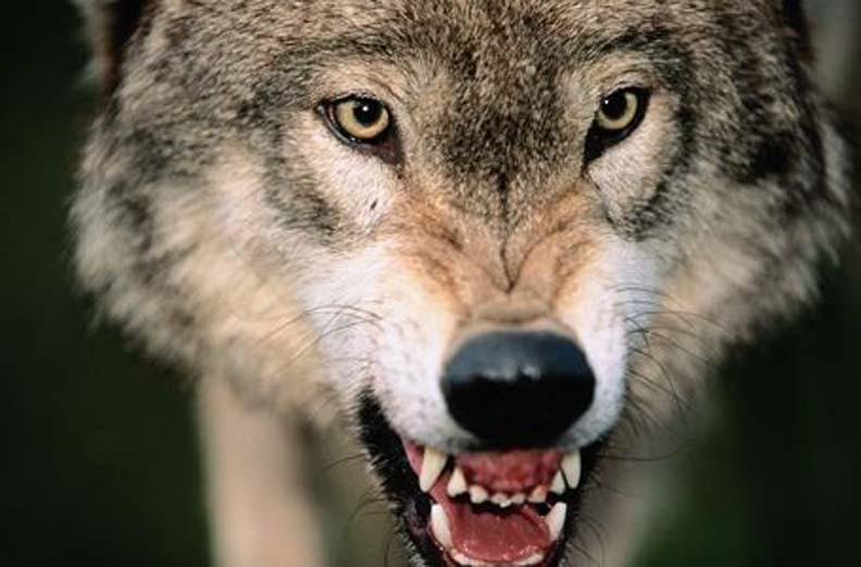2008-02-15-wolf