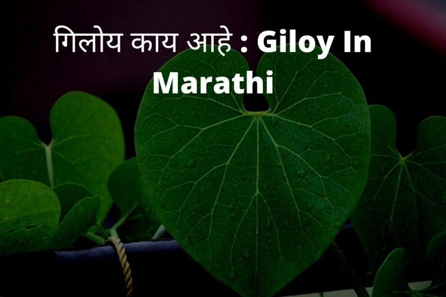 Giloy In Marathi